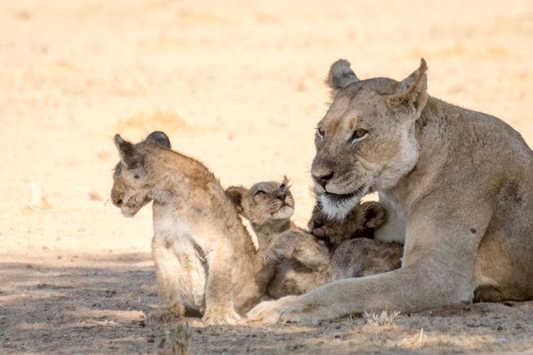 Lions against sand