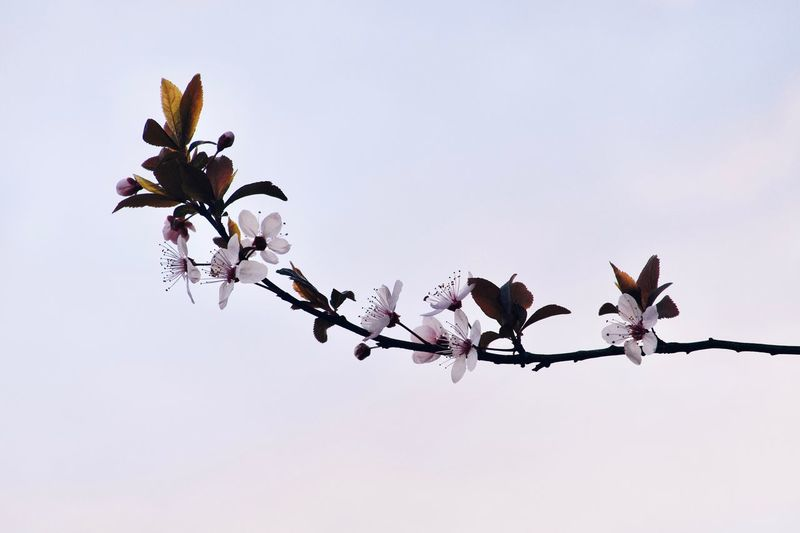 Plant Tree Beauty In Nature Sky Growth Nature Flower Outdoors Fragility Blossom Freshness Springtime Clear Sky White Color Low Angle View Vulnerability  Branch No People Day Flowering Plant