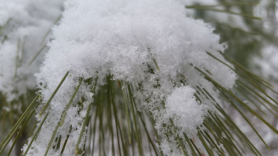 Close-up Closeup Early Snowfall Evergreen Green Nature Outdoors Plant Plants Snow Snow On Trees Tree Trees Winter