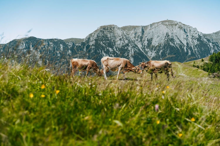 Cows grazing on a field against mountains in summer