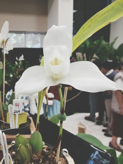 Monja Blanca Orchid Flower Indoors  Flower Head