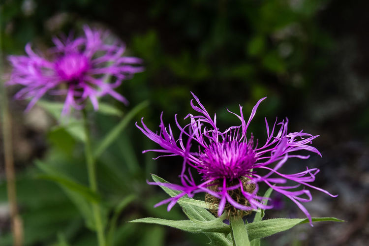 Centaurea uniflora, common names: Singleflower Knapweed, is a perennial herbaceous plant belonging to the genus Centaurea of the Asteraceae family. Centaurea uniflora reaches an height of 40-50 cm. It is densely covered with short rough hair. The stem is erect, leafy and has only one showy purplish-pink flower. The green-gray leaves are dotted, narrowly lanceolate and smaller than one centimeter. The flowering period extends from July to September. https://en.wikipedia.org/wiki/Centaurea_uniflora Beauty In Nature Blooming Centaurea Uniflora Close-up Flower Flower Head Macro Purple