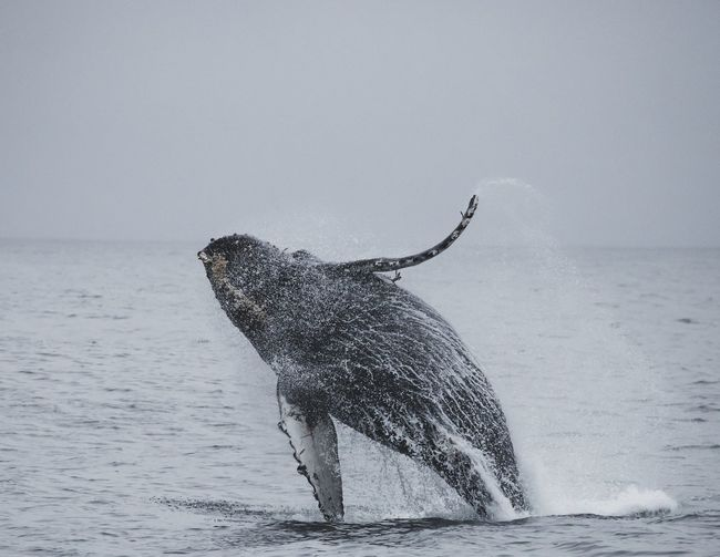 Close-up of whale in sea against clear sky