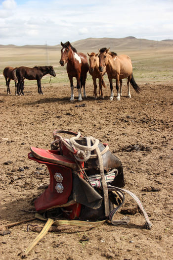 """mongolian saddle"" Animal Animal Themes Animals In The Wild Brown Camel Cowboy Day Domestic Animals Equipment Farm Farm Life Hills Horse Horses Lieblingsteil Livestock Mammal Nature Nature No People Outdoor Outdoors Saddle Soil Wildlife"
