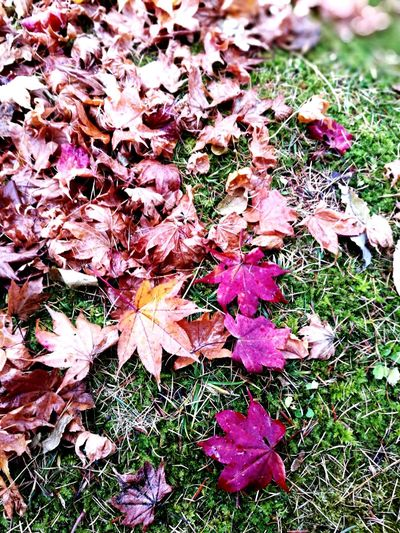 Nature Outdoors No People Beauty In Nature Leaves Maple Leaf Multi Colored Close-up Automn Colors Autumn