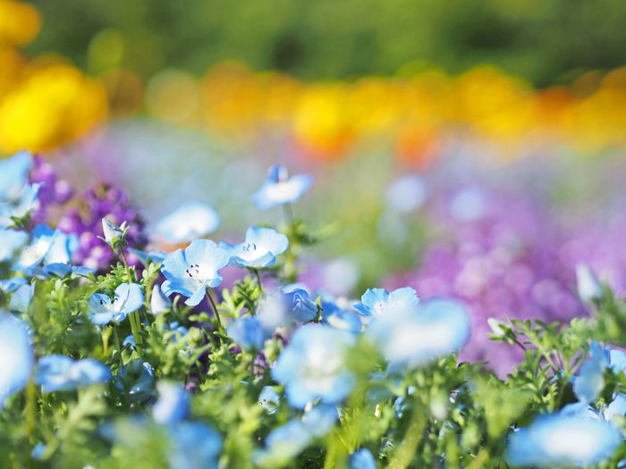 Nemophila flowers blooming beautifully (綺麗に咲いているネモフィラの花) Ad Blue Color Copy Space Daytime Expo Memorial Park Green Japan Nature Nemophila Plant Suita Black Color Close-up Cute Flower Landscape Margin No Person Nobody Outdoors Purple Text Space White Yellow ネモフィラ
