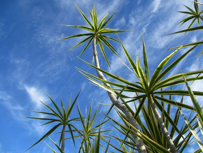Low Angle View Palm Tree Sky No People Nature Growth Outdoors Day Beauty In Nature Nature Backgrounds Florida Sky Growth Trees And Sky Blue Sky