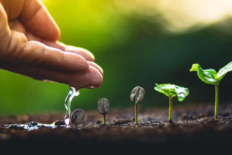 Grow coffee beans Plant coffee tree Hand care and watering the trees Evening light in nature Body Part Close-up Day Finger Food Gardening Growth Hand Holding Human Body Part Human Finger Human Hand Nature One Person Outdoors Plant Real People Selective Focus Unrecognizable Person Vegetable