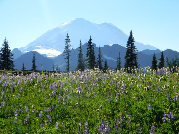 Beauty In Nature Flower In Bloom Mountain Mt. Rainier Tranquility Wildflowers Wildflowers In Na