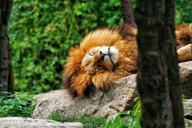 Animal Themes No People Lion