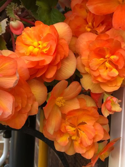 Flower Beauty In Nature Flower Head Orange Color Freshness Blooming Flowers Flower Collection Flowers,Plants & Garden Flowers, Nature And Beauty Flower Photography IPhone IPhoneography IPhone Photography Begonia Begonia Flower Trailing Plant Trailing Begonias