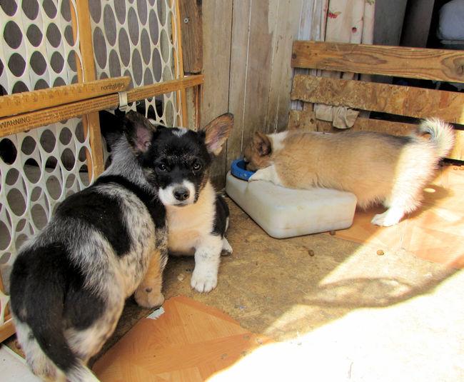 High angle view of corgi puppies drinking water