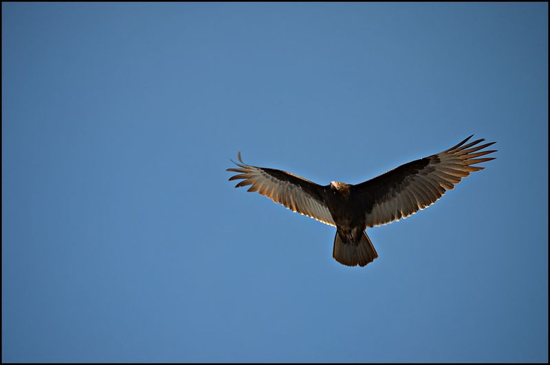 Animal Themes Bird Blue Clear Sky Flying Mid-air Spread Wings Wildlife