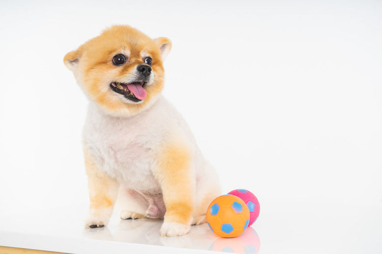 Isolated closeup portrait Pomeranian dog smiling with funny face on the white background. Studio shot of small brown puppy Studio Shot Isolated White Background Portrait Sitting Mouth Open Vertebrate Cute Canine Dog Toy Healthy Eating Happy