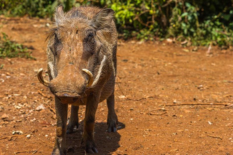 Warthog on field