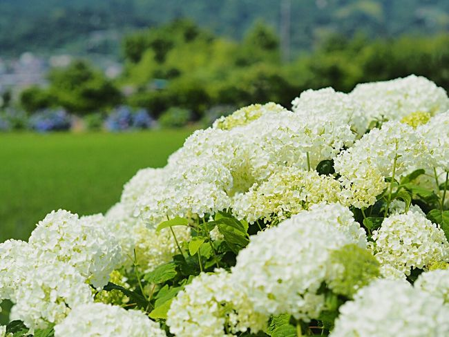 Flower Freshness Nature Beauty In Nature Fragility Green Color Focus On Foreground Plant Field Blooming Flower Head White Flower Rice Field 田んぼ Hydrangea Ajisai 紫陽花 White Hydrangea Hydrangea Festival 紫陽花まつり Kanagawa,japan Scenics Landscape Growth Clear Sky