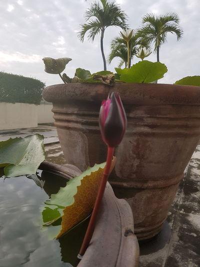 ดอกบัวตูม Water