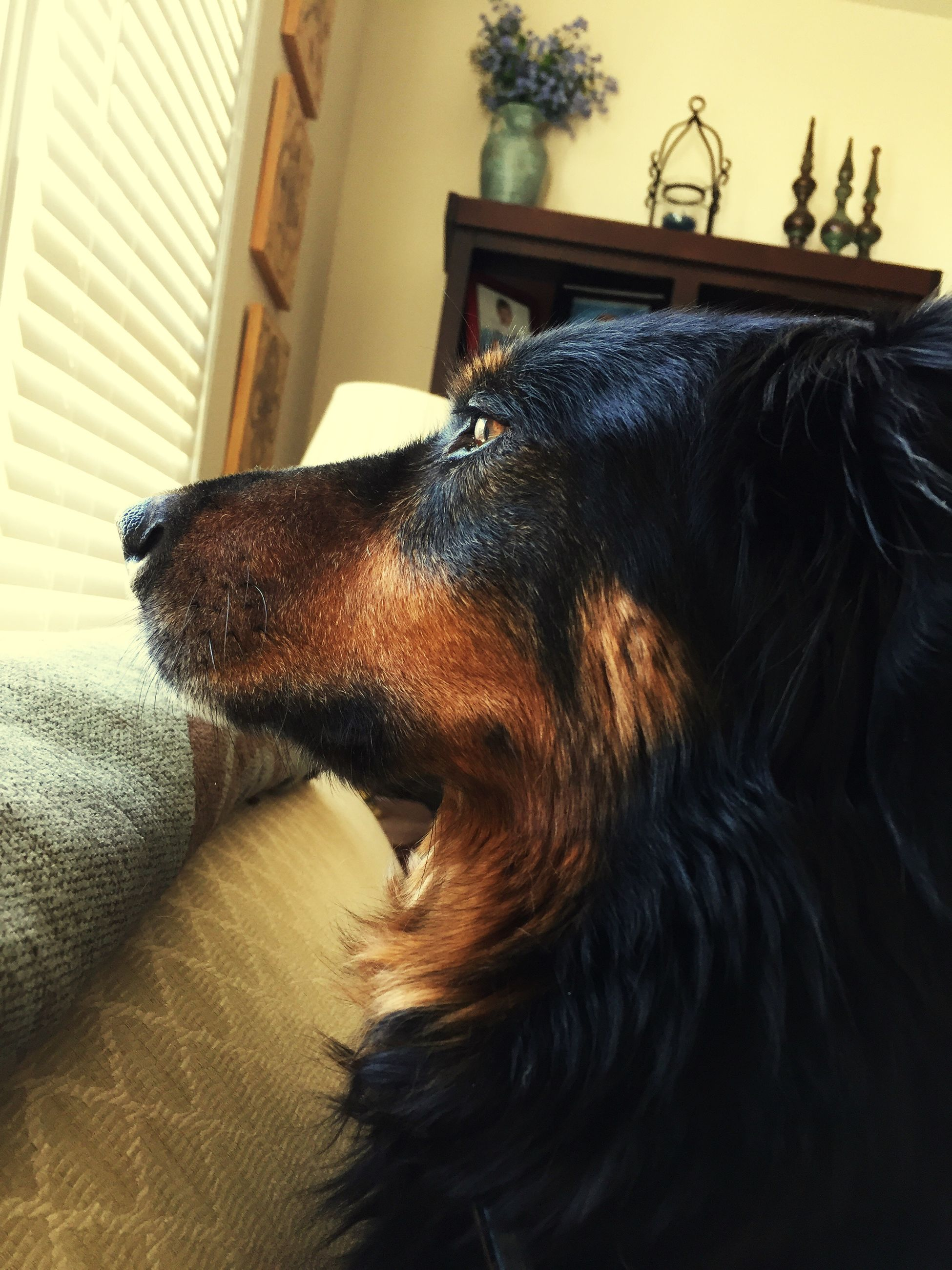 animal themes, domestic animals, one animal, pets, mammal, dog, indoors, no people, close-up, dachshund, day