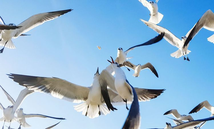 Flying Bird Spread Wings Flock Of Birds Sky Outdoors Hovering Day Animal Seagull Seagulls In Flight Feeding The Birds Flight Fighting Over Food Beach Coast Summer Nature