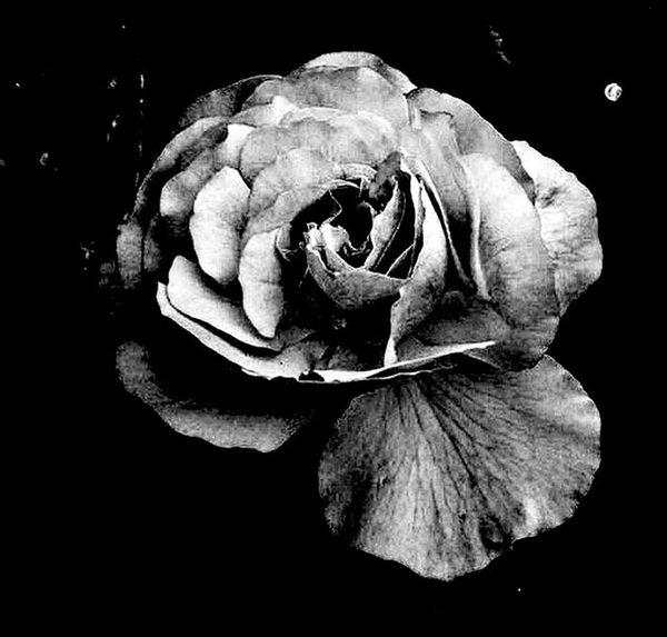 Quería probar algo nuevo así que me decidí por blanco y negro Flower Close-up Black Background Flower Head Fragility Beauty In Nature Petal No People Freshness Nature Decline Day