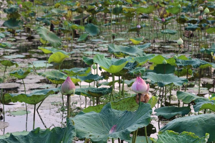 Close-up of lotus water lily amidst leaves