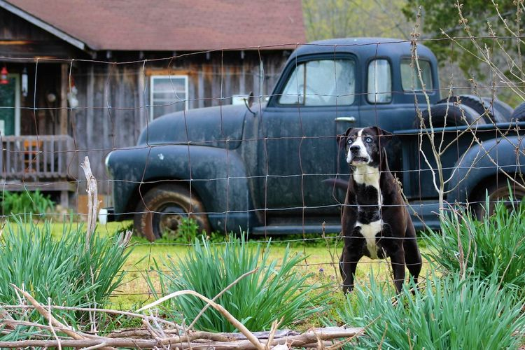 Dog By Fence Against Old Pick-Up Truck