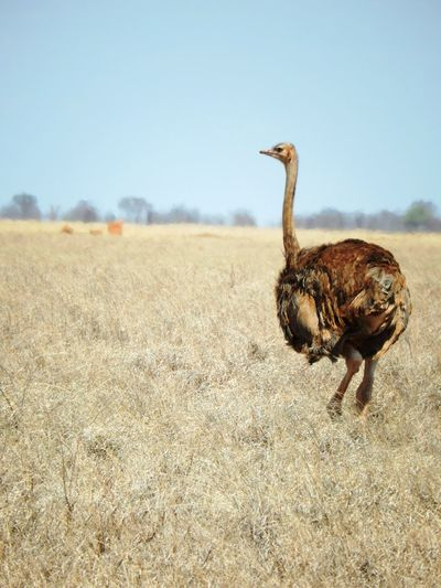 Ostrich on grassy field against clear sky