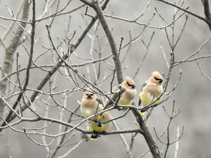 first time photographing these guys... Cedar Waxwings. Birds Cedar Waxwing Cedar Waxwings Cedar Waxwing Perche Waxwing Waxwings Bird Photography Birds_collection Birding Birdingphotography Birdwatcher Birds_n_branches Wildlife Wildlife & Nature Wildlifephotography Songbird