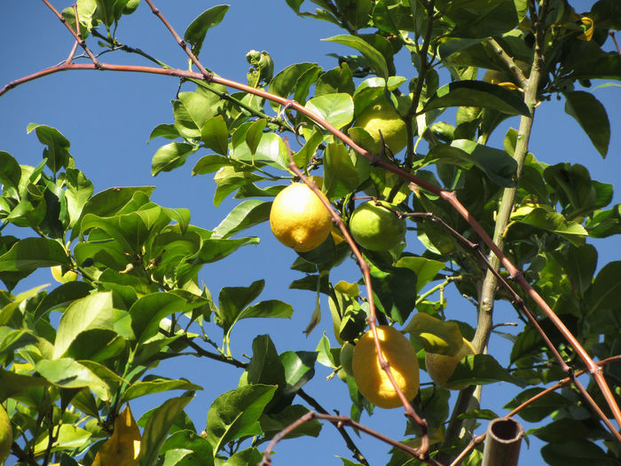 Lemon fruits hanging on the tree against the blue sky Agriculture Citrus  Farm Growing Hanging Plant Tree Blue Branch Citrous Citrus Fruit Fruit Garden Grove Healthy Food Juicy Leaf Lemon Orchard Peel Ripe Sky Sour Sweet Vitamin