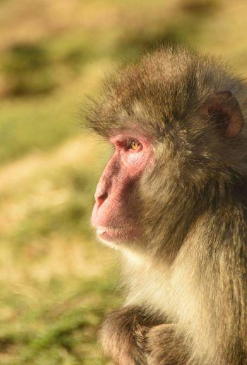 Monkey Animals In The Wild Ape Outdoors Portrait Japanese Macaque Macaque Wildlife Wildlife Photography Wildlife & Nature Amateur Amateurphotography Amateurphotographer  Scottish Nikon_photography EyeEm Best Shots Nikond7200 Nikon Animal Animal Themes Close-up