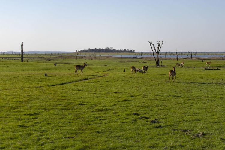 Flock of impalas grazing in field