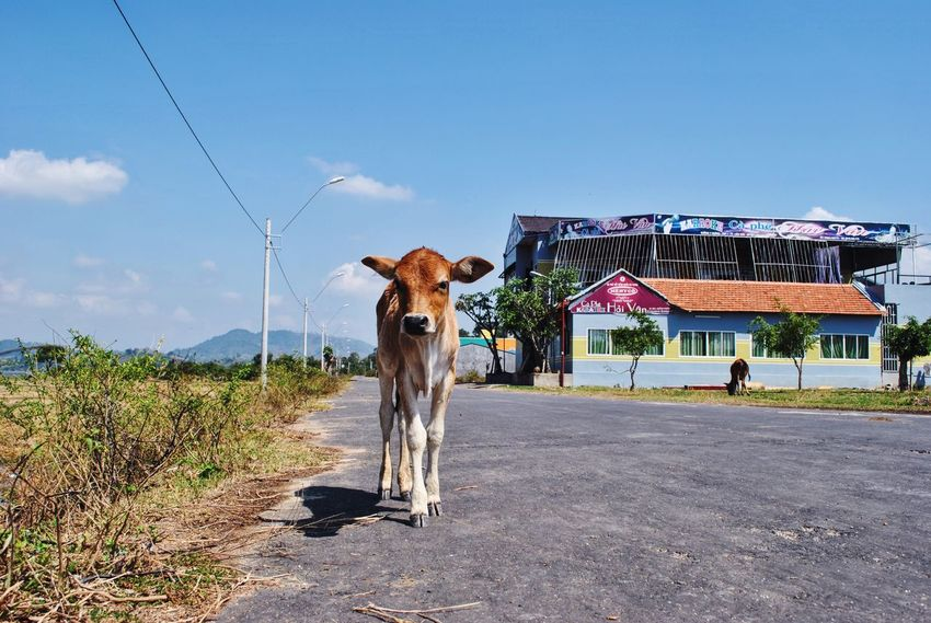 Calf Cow Animal Vietnam ASIA South East Asia Nature_collection View New Friends Countryside Small Town Road Low Angle View EyeEm Nature Lover Eye4photography  EyeEm Gallery The Week Of Eyeem Travel Photography Eyeem Travel Travel Destinations Travelphotography Travelgram Cute Showcase June