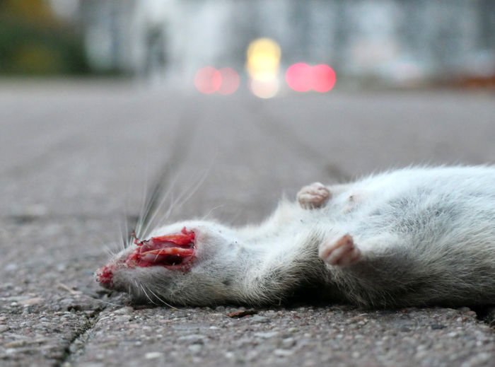 Close-up of cat lying on the road