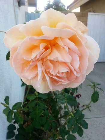 Rose🌹 Old Rose Love Flowers 😍🌹
