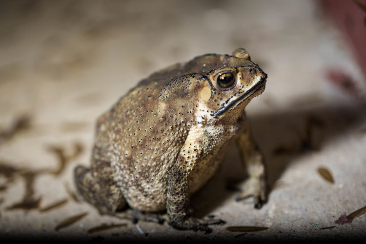 A toads eat insects at night favorite food night shot