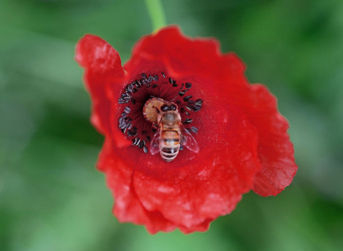 close-up of bee collecting nectar from a poppy flower Flowering Plant Flower Petal Bee Freshness Animals In The Wild Pollination Pollen Animal Wildlife One Animal Insect Flower Head Beauty In Nature Animal Animal Themes Close-up Invertebrate Red EyeEmNewHere EyeEm Nature Lover EyeEm Best Shots