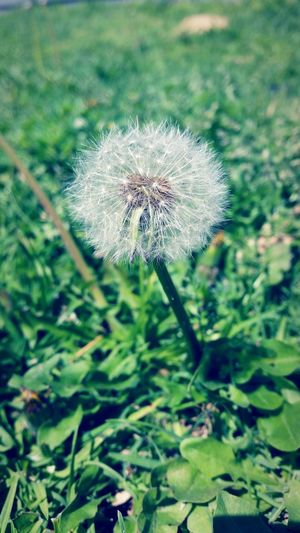 Growth Fragility Dandelion Plant Close-up Focus On Foreground Flower Freshness Softness Stem Nature Beauty In Nature Green Color Single Flower Uncultivated Day Selective Focus Botany Springtime Outdoors