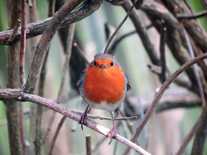 Robin Animal Plant One Animal Perching Branch Focus On Foreground Tree No People Animal Wildlife Animal Themes Nature Vertebrate Close-up Bird Robin Day Outdoors Animals In The Wild
