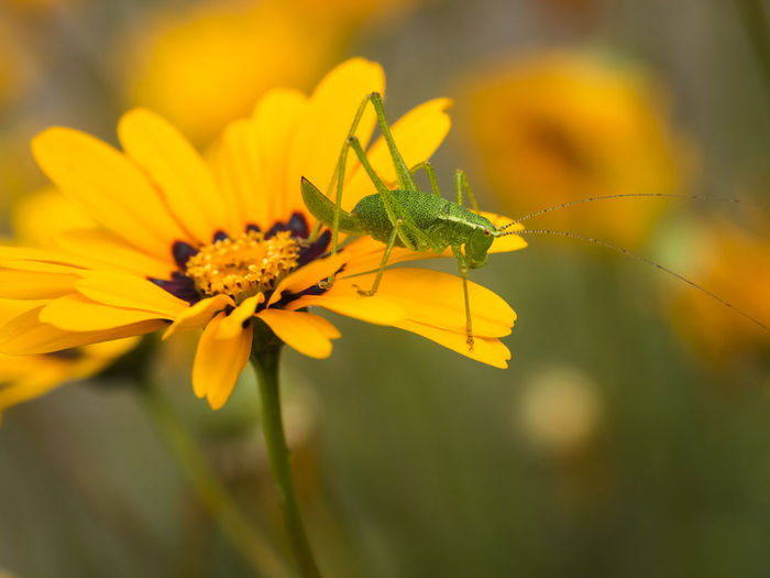 Grasshopper Insect Nature Yellow Flower Animal Animal Themes Animal Wildlife Animals In The Wild Antenna Beauty In Nature Close-up Flower Flower Head Flowering Plant Grasshopper Green Insect Insect Insekt Meadow Natur Nature No People One Animal Outdoors Selective Focus Summer Yellow