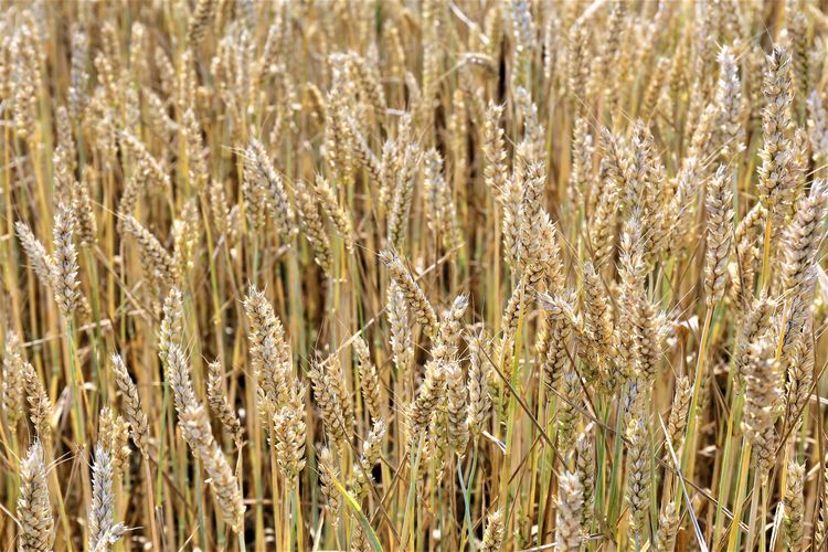 Tranquility Cereal Plant Growth Plant Nature Beauty In Nature Rural Scene Farm Agriculture Field Landscape Land Crop  No People Outdoors Rye - Grain Close-up Oat - Crop Backgrounds Selective Focus Wheat Day Full Frame Stalk