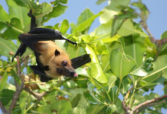 Flying Fox Animals Animal_collection Emotions Leaves
