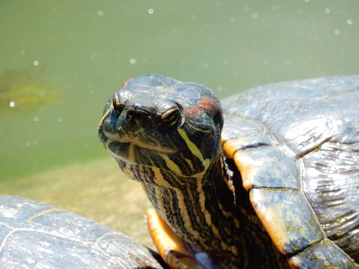 Close-up of a turtle in lake