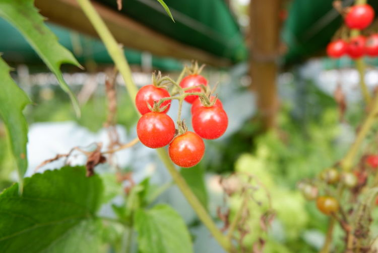Baby Tomatoes Tree Fruit Leaf Red Summer Close-up Plant Food And Drink Green Color Sun Lounger Orchard Branch Ripe Apple Tree Unripe Orange Tree Fruit Tree Cherry Blossom Cherry Tree Rowanberry Picking Lemon Tree Juicy Apple Blossom Persimmon Apple Olive Tree Grove Blossom Harvesting