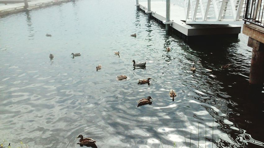 Water Reflections Water_collection Duckfamily Awww Tranquility Peace Lakeview
