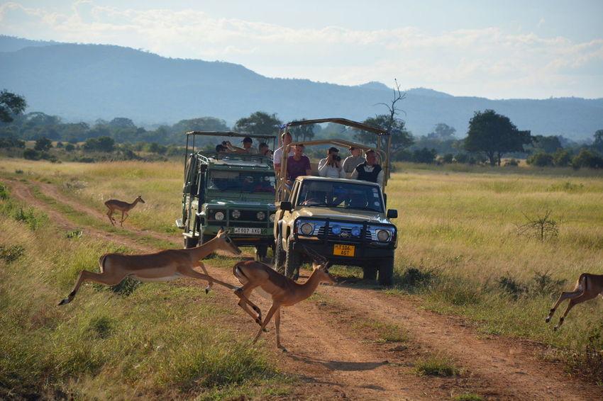safari at Mikumi National Park. Tanzania Adventure Africa African African Safari Game Drive Grass Jeep Safari Landscape Livestock Mammal Mikumi Mikumi_national_park Outdoors Safari Safari Animals Safari Park Springbok Tanzania Tanzanianationalparks Tourism Tourist Travel Miles Away Let's Go Together