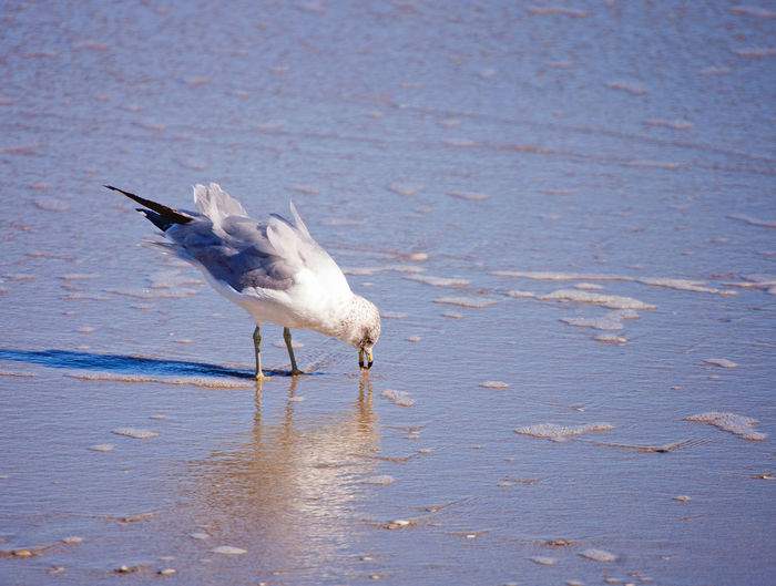 Seagull with