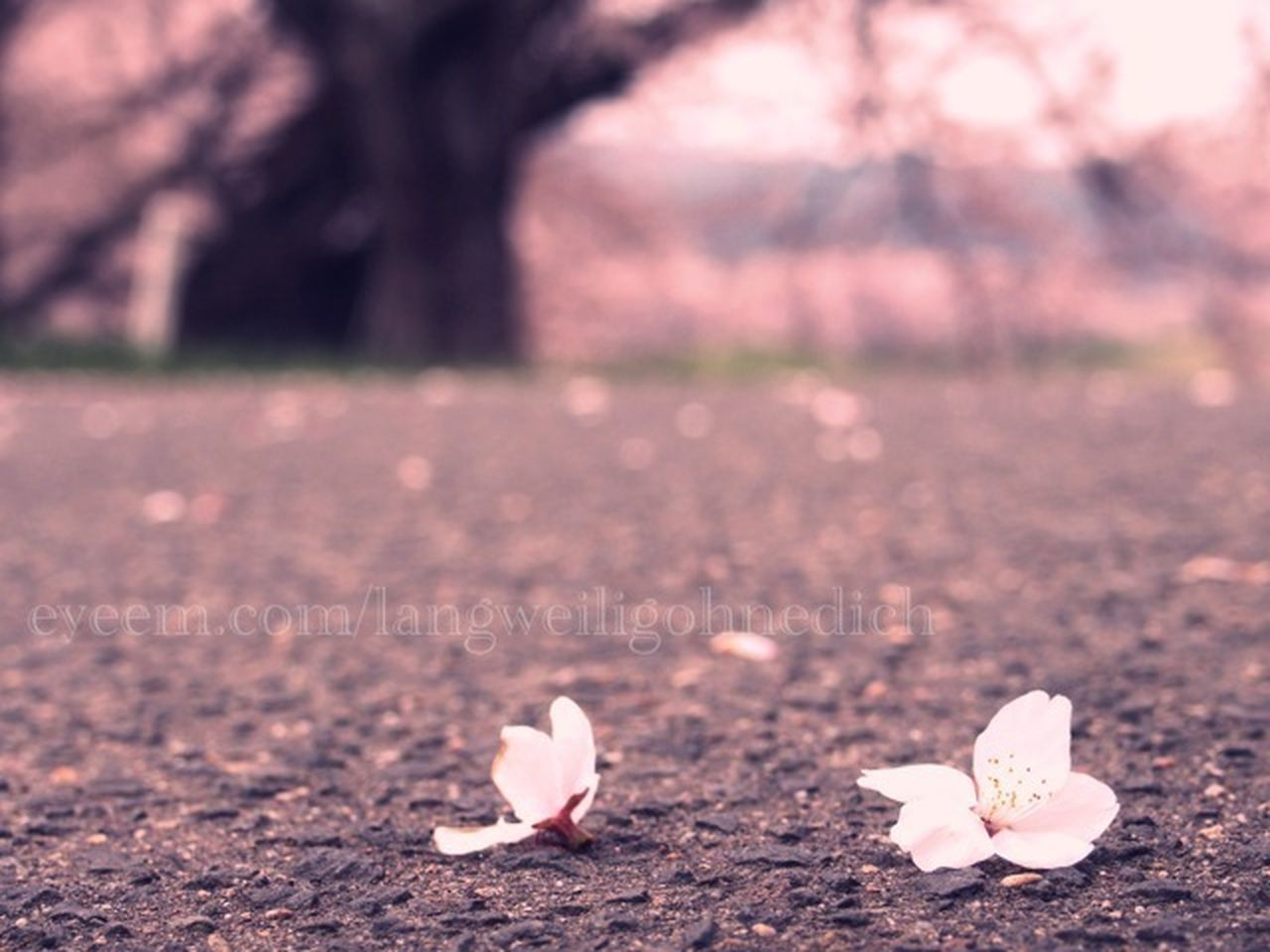 nature, outdoors, day, tree, no people, petal, close-up, plant, flower, fragility, flower head, freshness, beauty in nature, crocus