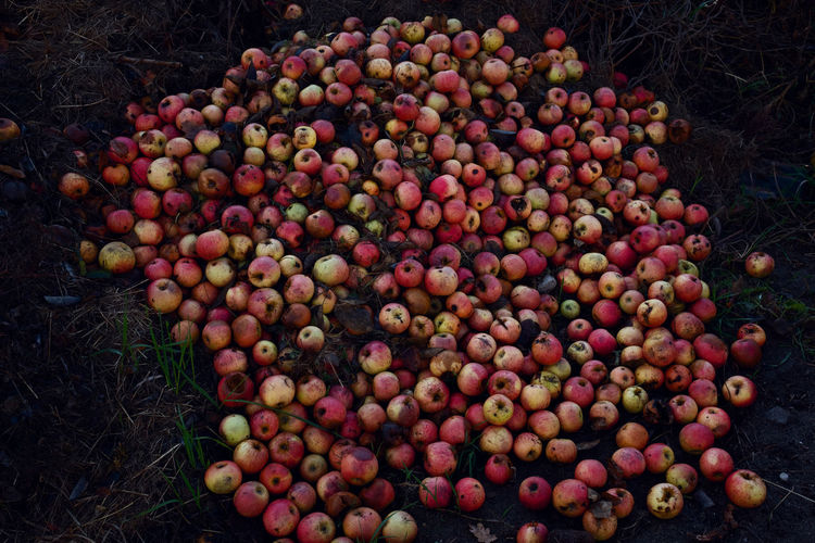 Close-up of rotten apples on land