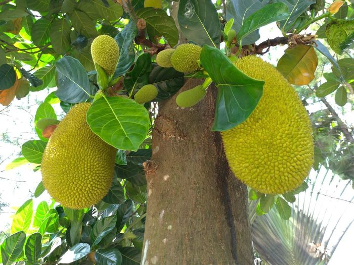 Jackfruit Body,
