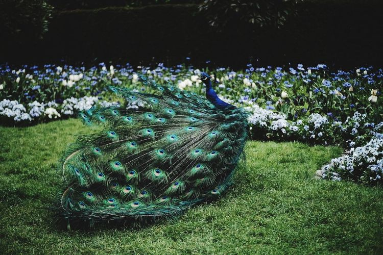 Peacock on grassy field
